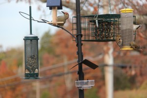 The Northern Flicker finally discovered the bark butter