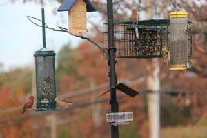 House Finch and a small flock of Goldfinches